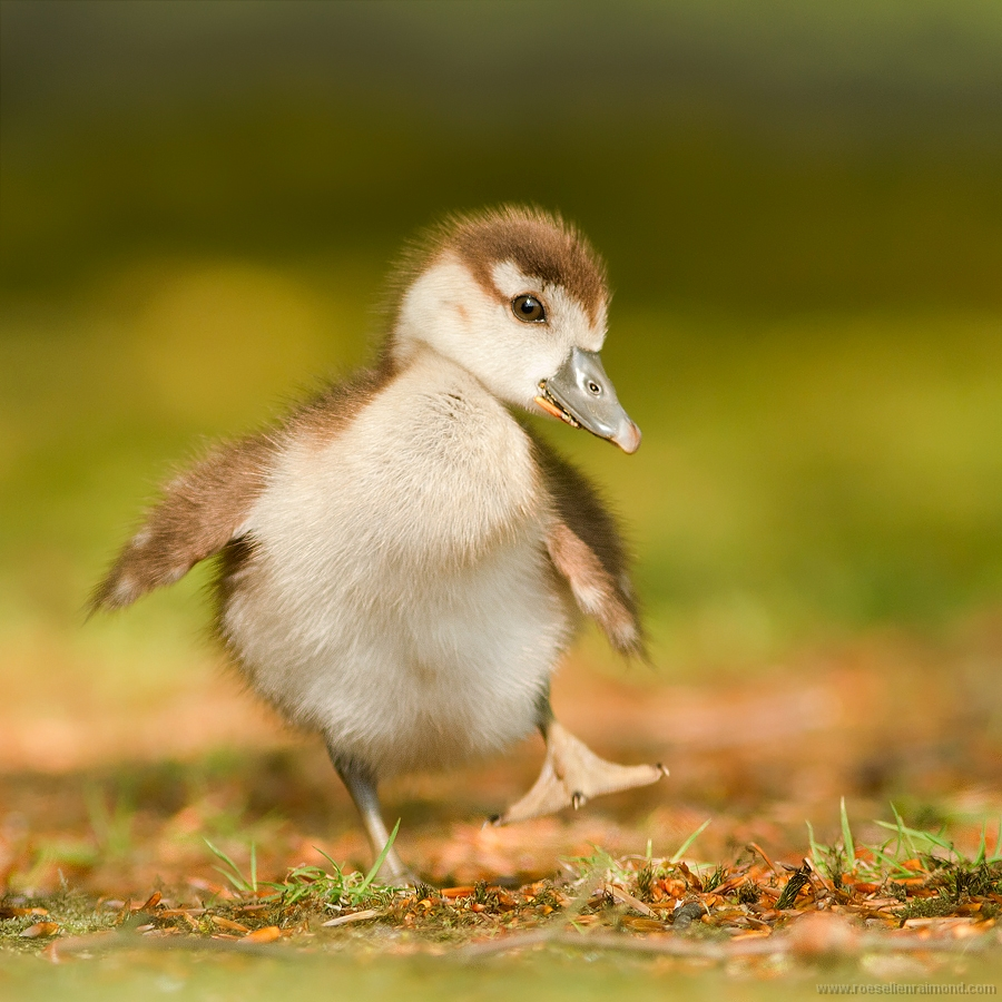 10. Too cute to Blog: Goslings - Roeselien Raimond Nature ...