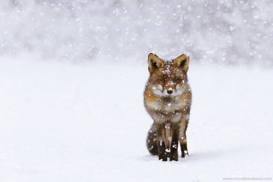 red fox in snow - photo #4