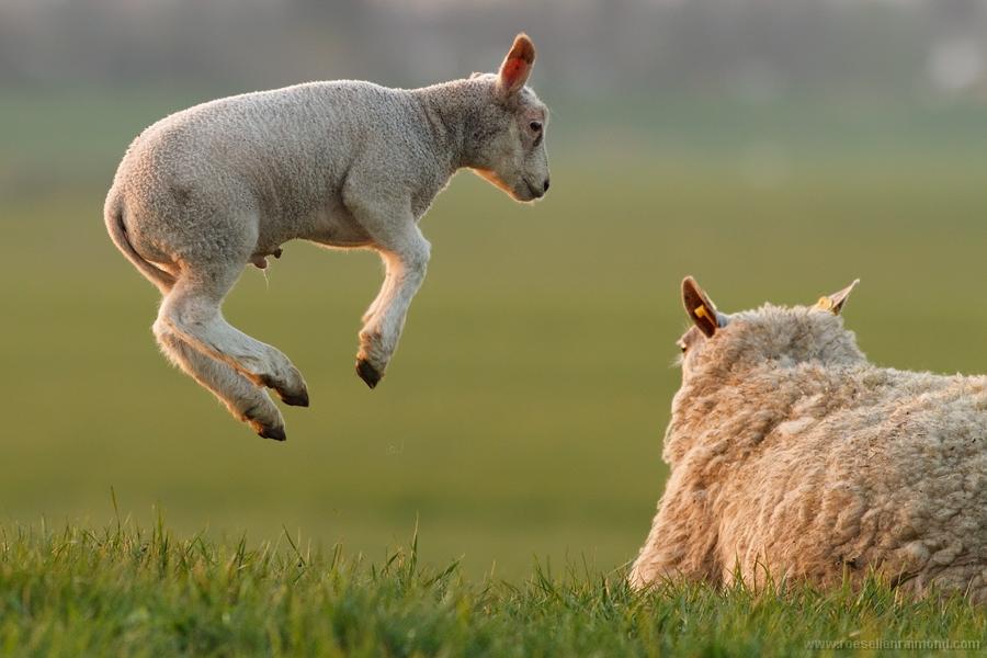 [Image: lamb_leaping.jpg]