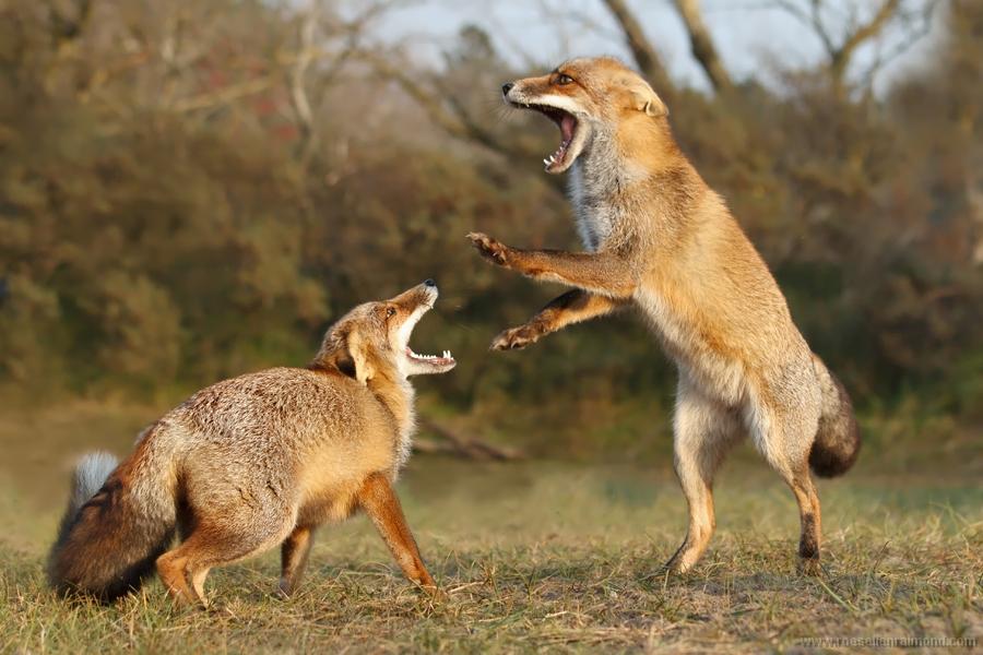 Dog Showing Dominance Over Other Dog