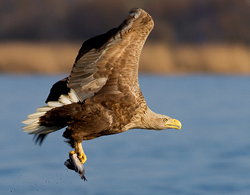 Sea Eagle in Flight