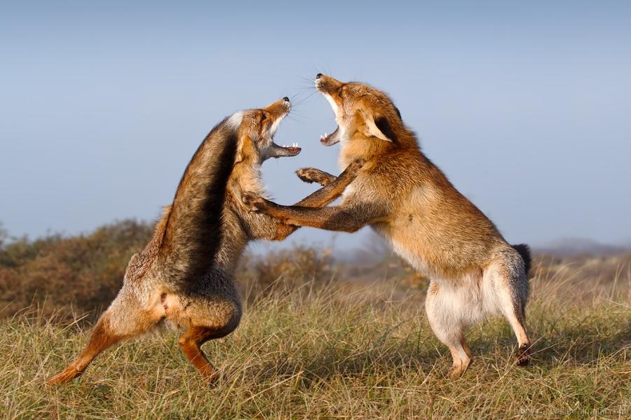 19. Fox Trotting and Fox Fighting - Roeselien Raimond