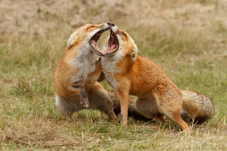 Animals Fighting For Food Red fox male & fem...