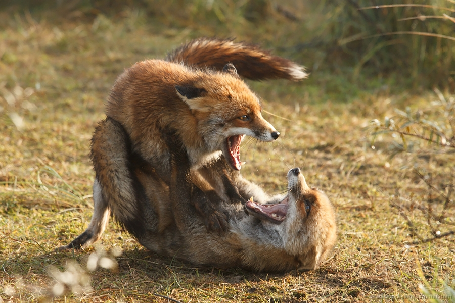 Red fox male & female fighting over territory or food - Roeselien ...