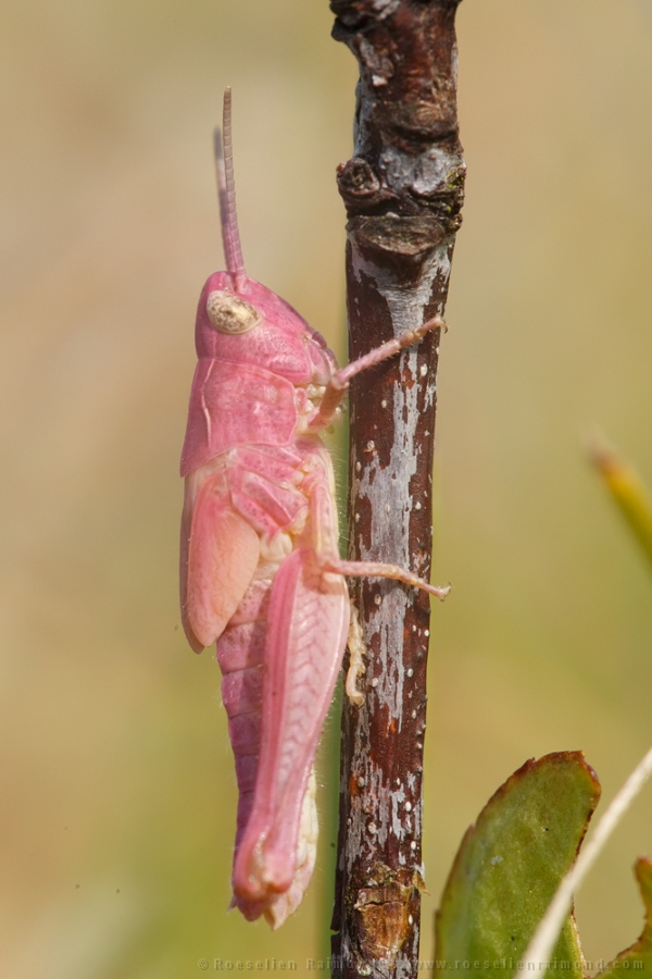 pink erythrism grasshopper insect rare