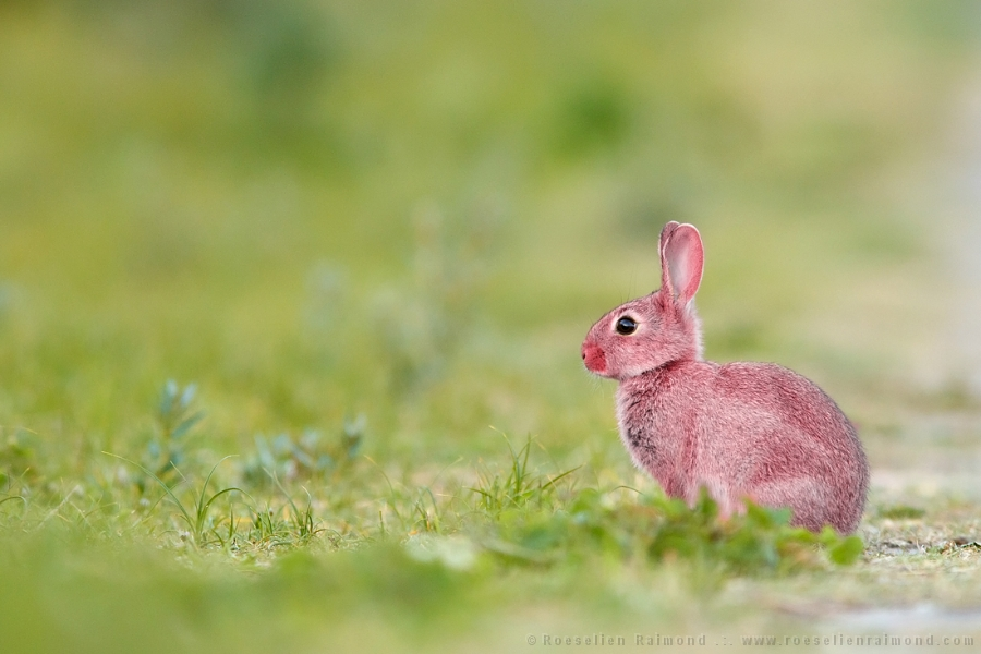 pink erythrism grasshopper insect rare rabbit
