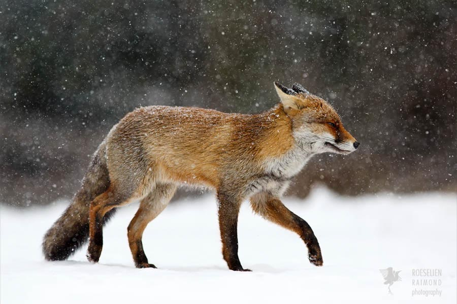 red fox in snow - photo #7