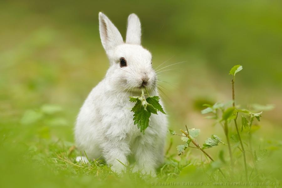 Cute White Rabbit - Roeselien Raimond Nature Photography