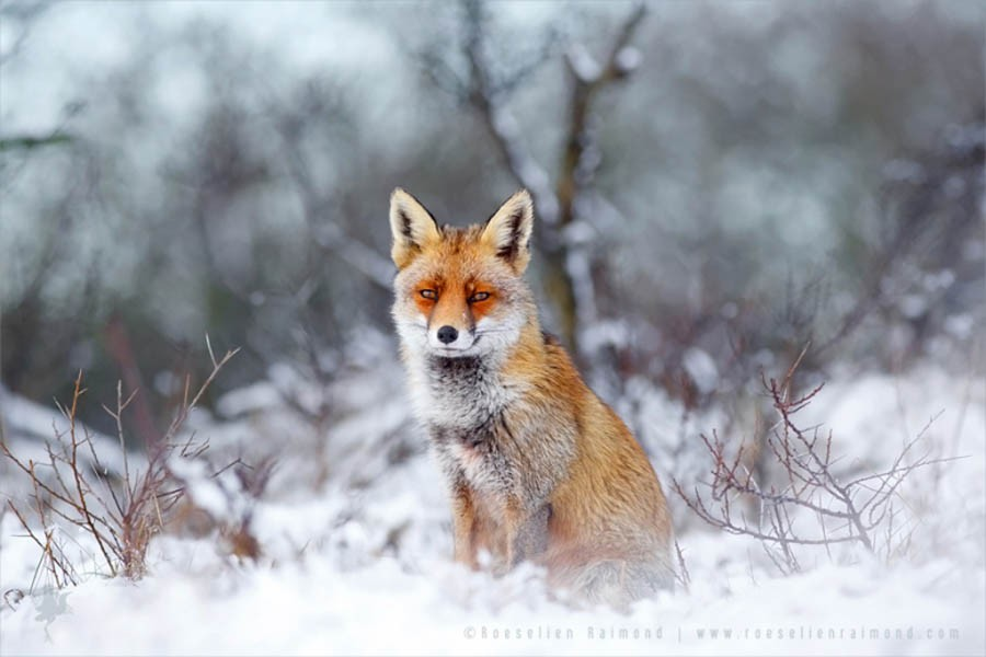 red fox in snow - photo #8