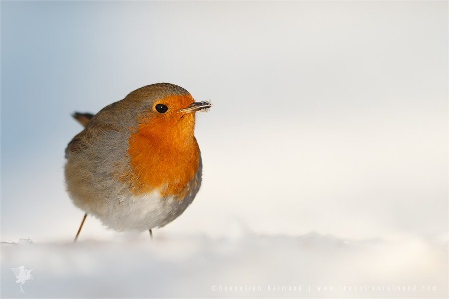 European robin erithacus rubecula standing in the snow