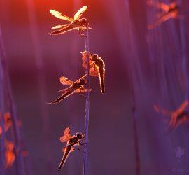 dragonflies in back-light