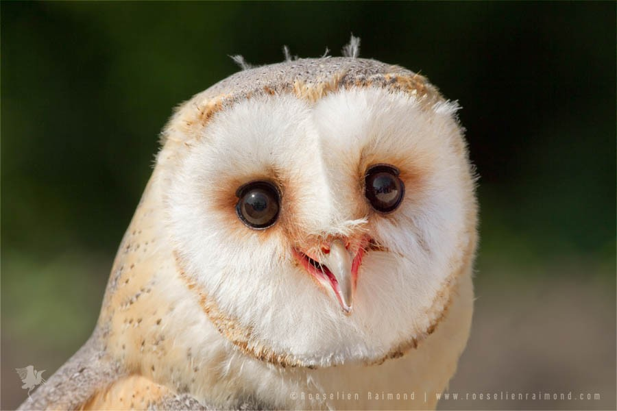The Smiling Owl Roeselien Raimond Nature Photography