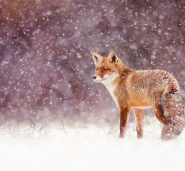 Red fox in the snow